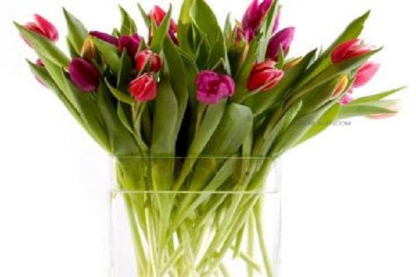 水培的郁金香开花后怎么办