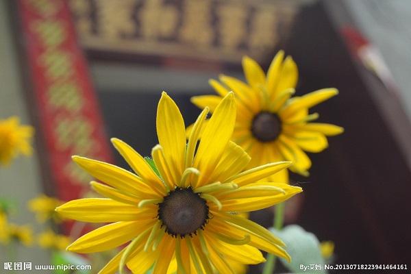 太阳花的繁殖方法