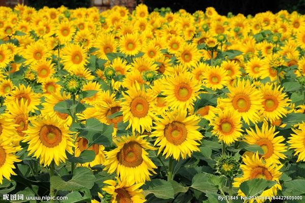 太阳花的特点