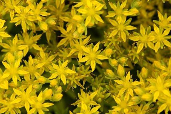 金叶佛甲草的养殖方法和注意事项