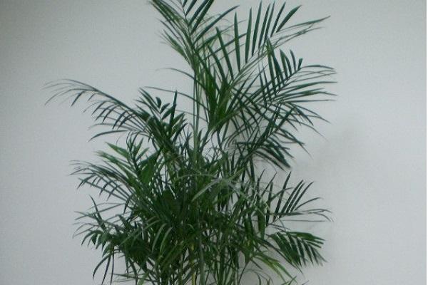 夏威夷椰子的病虫害防治