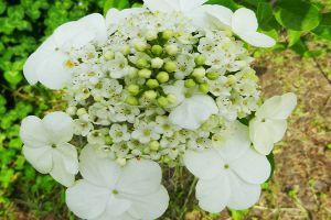 琼花的病虫害防治