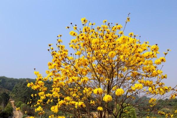 黄花风铃木的病虫害防治