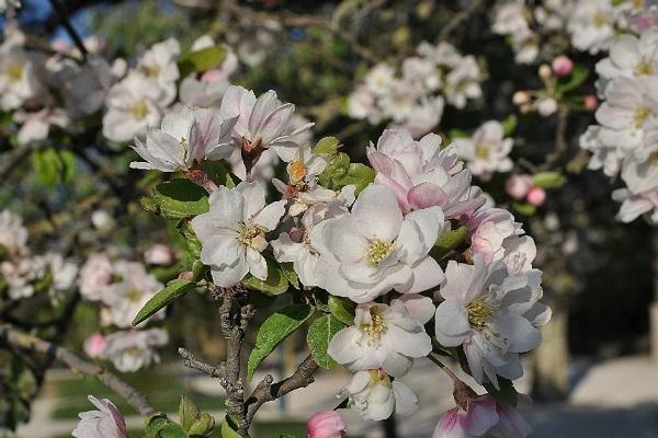 海棠花怎么延长花期