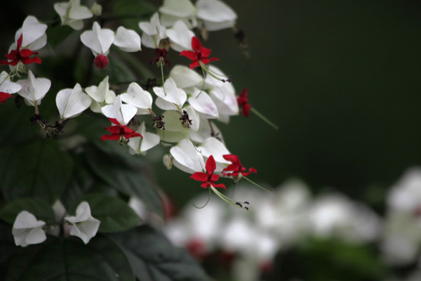 龙吐珠什么时候开花