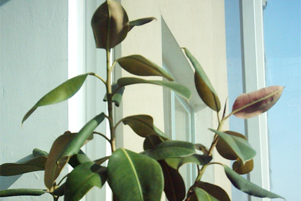橡皮树可以放在客厅吗