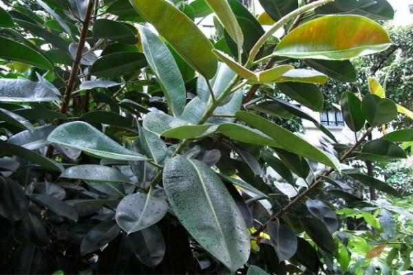 橡皮树叶子上有白点怎么办