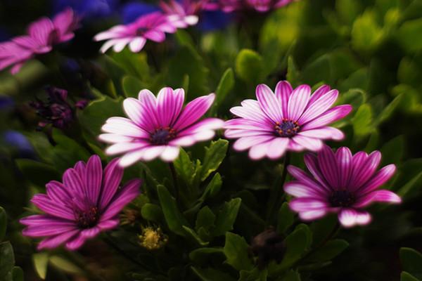 瓜叶菊什么时候开花