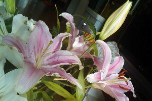 香水百合的常见病虫害及防治