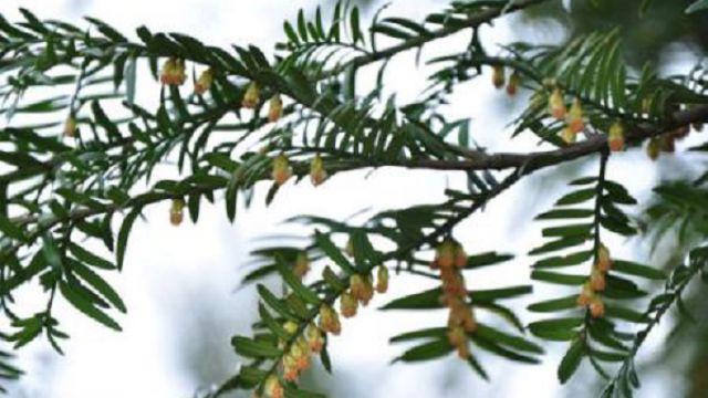 曼地亚红豆杉和南方红豆杉的区别