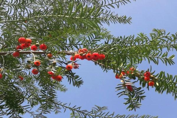 红豆杉雌雄株怎样分辨