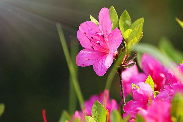 如何延长杜鹃花的花期