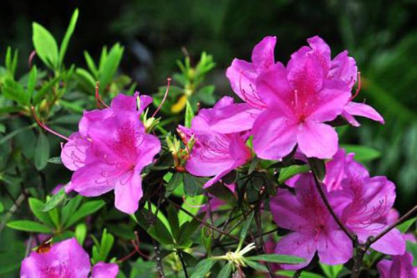 怎么讓杜鵑花多開花
