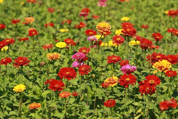百日草什么时候开花