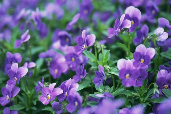 紫罗兰有毒吗