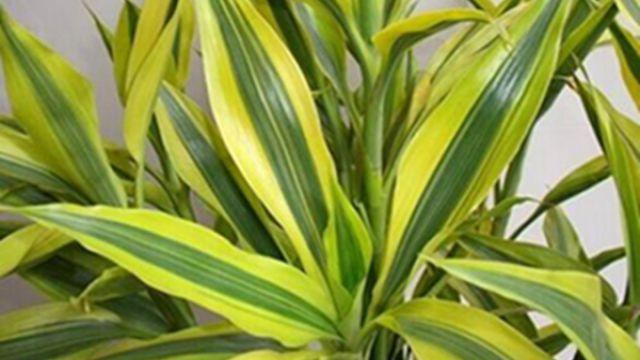 金邊富貴竹的養殖方法和注意事項