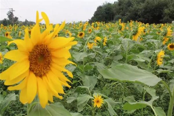 春天种1棵向日葵,花比脸盆还大,竟然收获10斤瓜子!