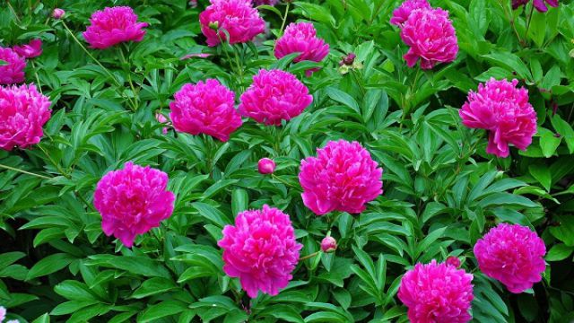 常见的宿根花卉有哪些?
