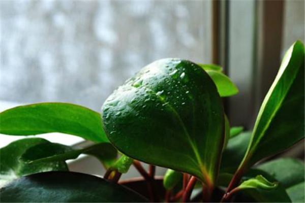 豆瓣绿的花语
