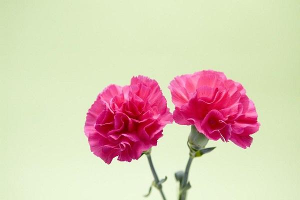 怎么让康乃馨快速开花