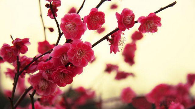 梅花与桃花的区别在哪里?