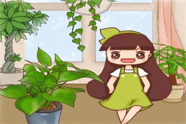 绿萝发财树···又黄叶,这么做2天就变绿!