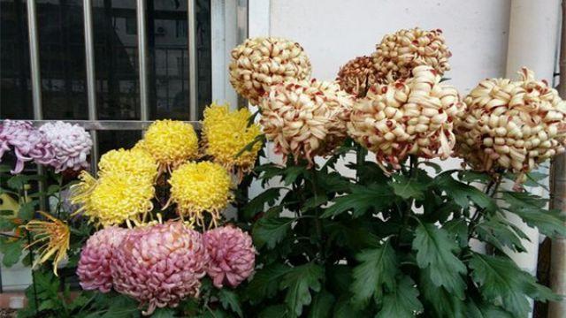 菊花什么时候开花