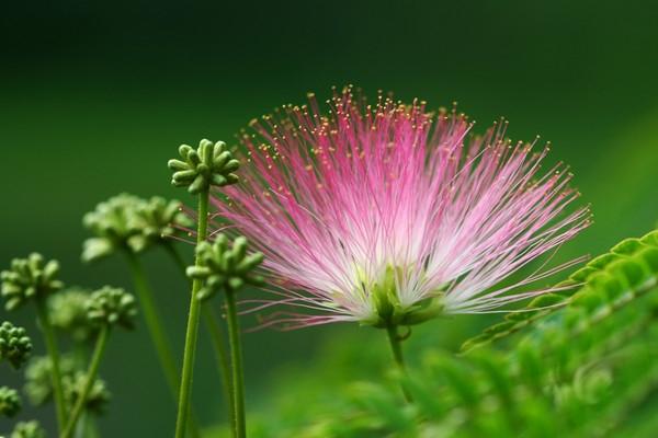 合欢花有毒吗