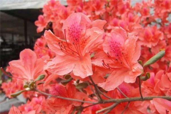 盆里滴点它,杜鹃再也不黄叶,开花爆盆100朵!