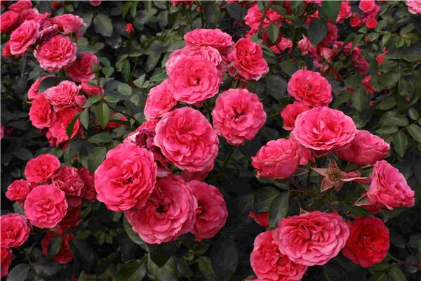 这20种月季,开花如包菜,味道赛香水,简直要中毒了!