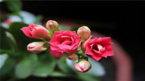 长寿花种植资料简介