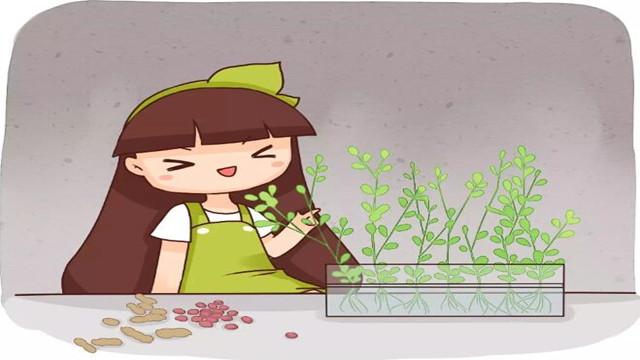 1粒花生扔盆里,长大竟比绿萝还美,1棵结了50个果!