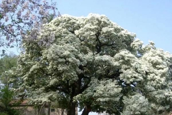 五月竟能下雪?家里养上这种花,立马拥有白色花海!