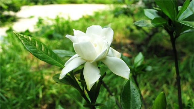 栀子花的养殖方法 养栀子花的注意事项