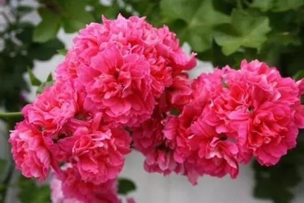 这9种花,单瓣丑的不像样,一旦重瓣起来美过天仙!