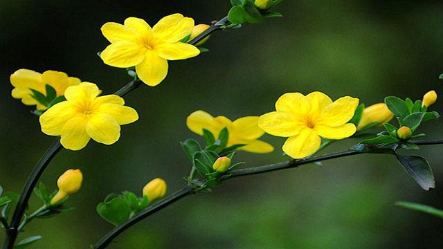 迎春花不开花是怎么回事