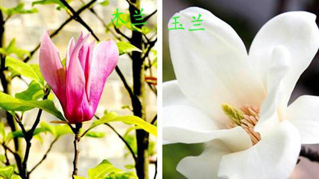 木兰花和玉兰花的区别