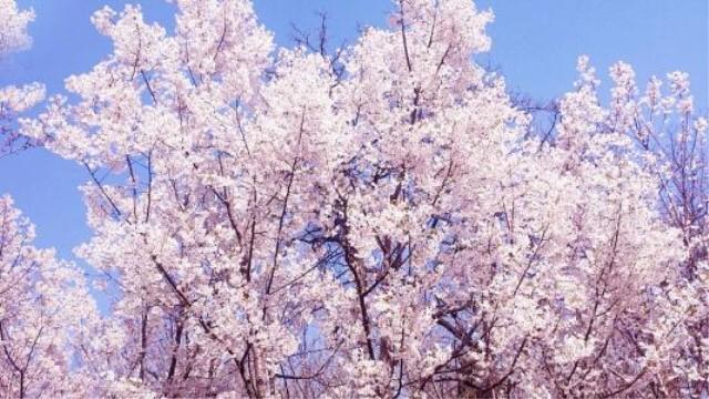 樱花可以放在室内吗