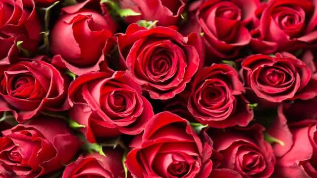 玫瑰不开花怎么处理