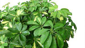 吊兰叶子发黑怎么办_发财树的养殖方法 - 花百科