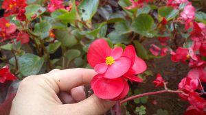 四季海棠种植资料简介