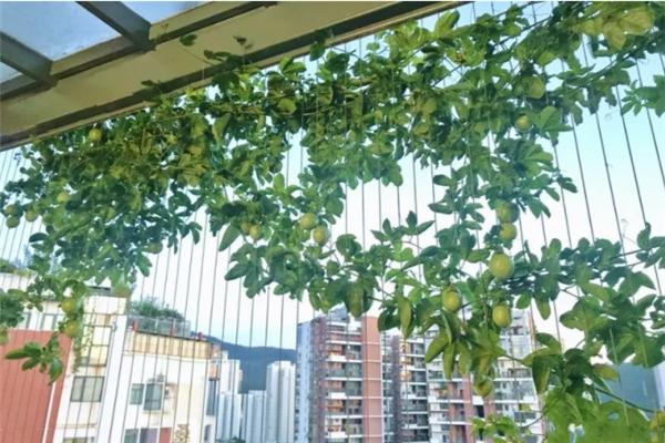 爬藤开花还结果,夏天种1棵,小阳台变百果园!