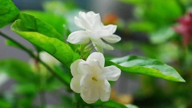 茉莉花的常见品种