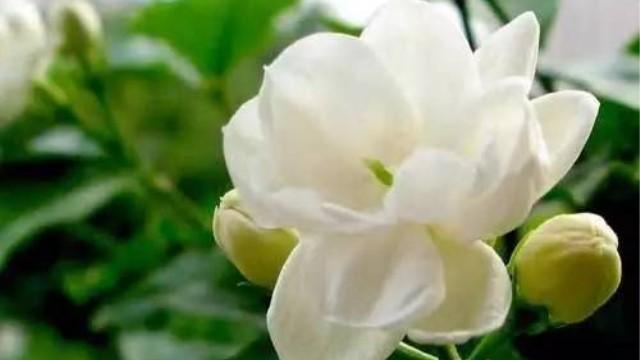 盆栽茉莉花的养护方法