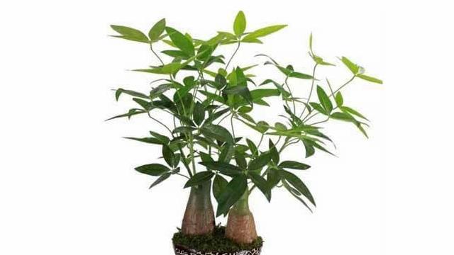 发财树会开花吗