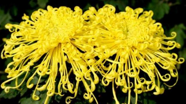 菊花的繁殖方法