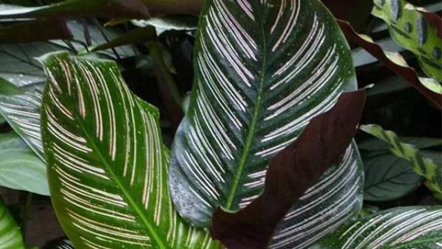 双线竹芋的养殖方法和注意事项