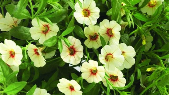 天竺葵的养殖方法和注意事项