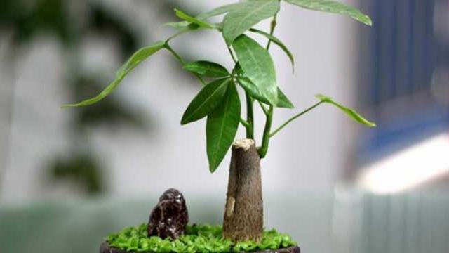 发财树多久浇一次水