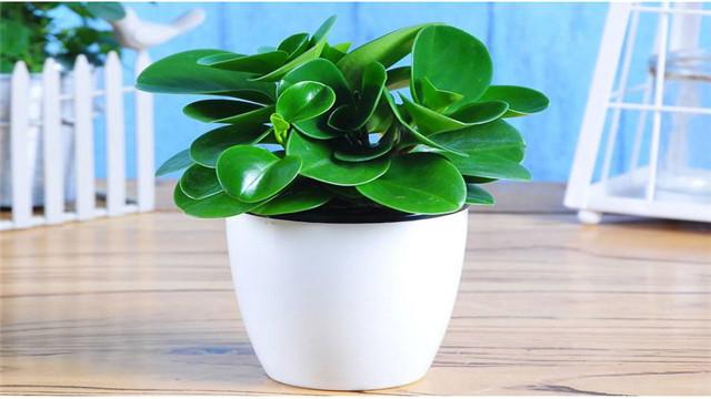 豆瓣绿怎么水培和养护